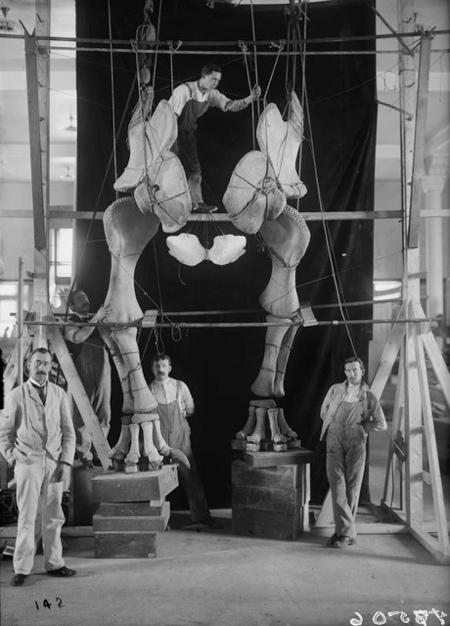 1904mountingapatosaurus