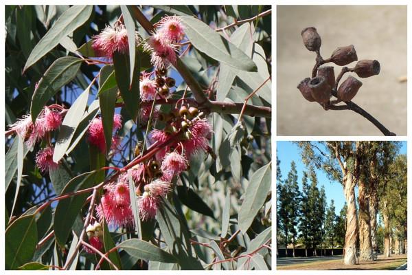 Eucaliptus F_s