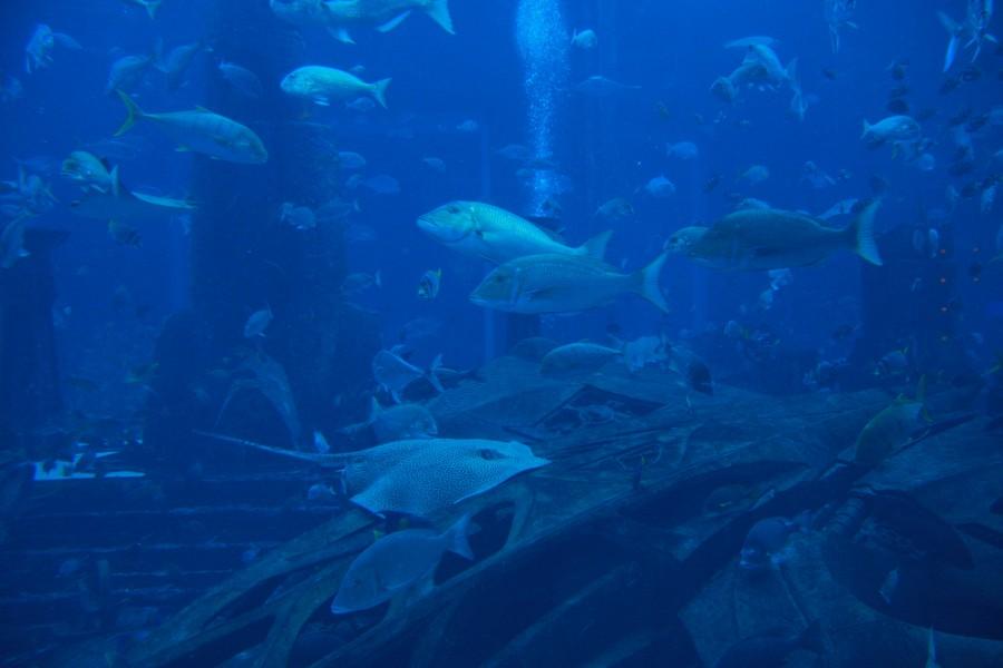Жители аквариума в отеле Атлантис