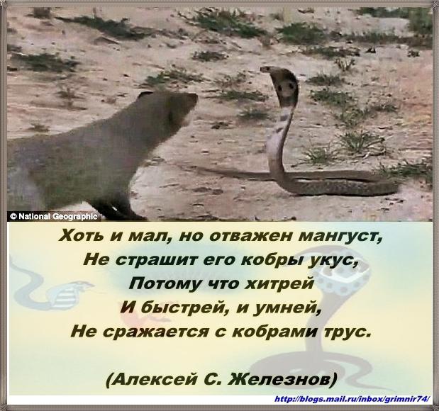 М-мангуст