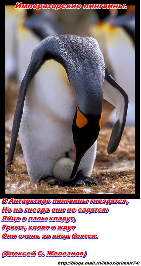 П-пингвин