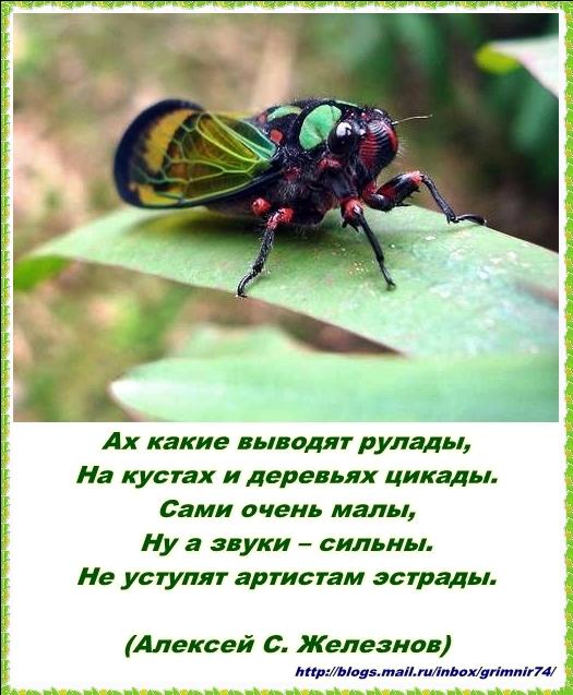 Ц-цикада