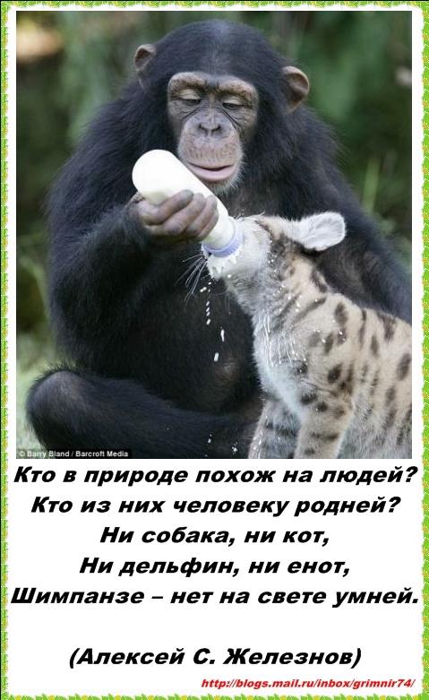 Ш-шимпанзе 1