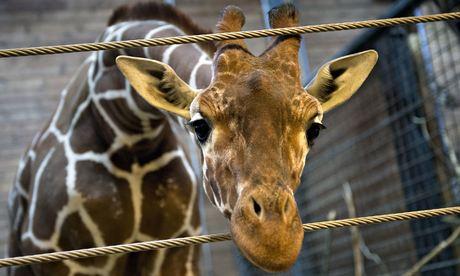 Marius-the-giraffe-011