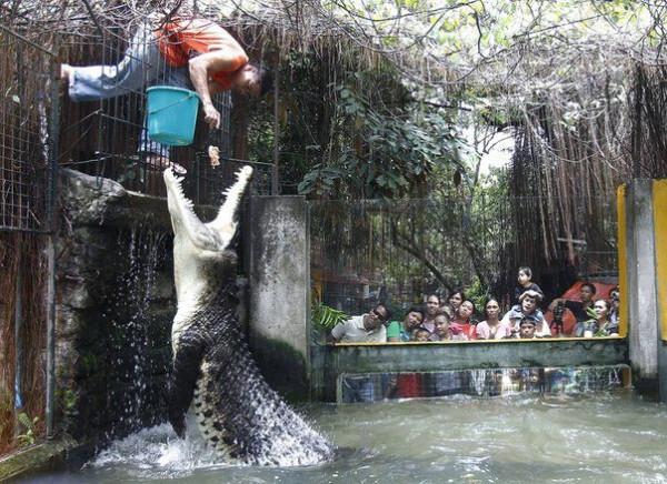 кормление крокодила