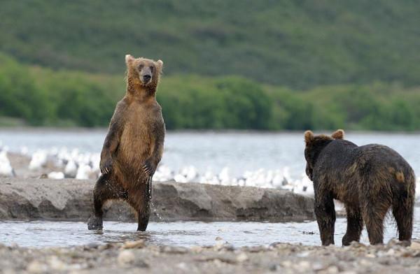 Medvedi_14