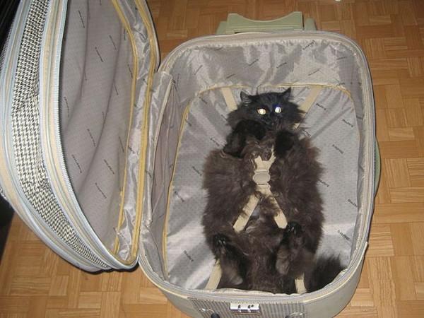 кот в чемод
