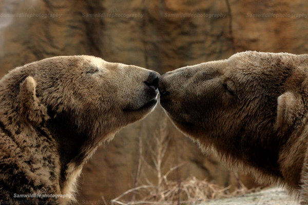 polar_bear_love_by_sam2103-d1xl6sx