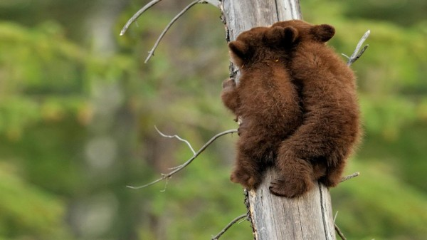 BearSiblings