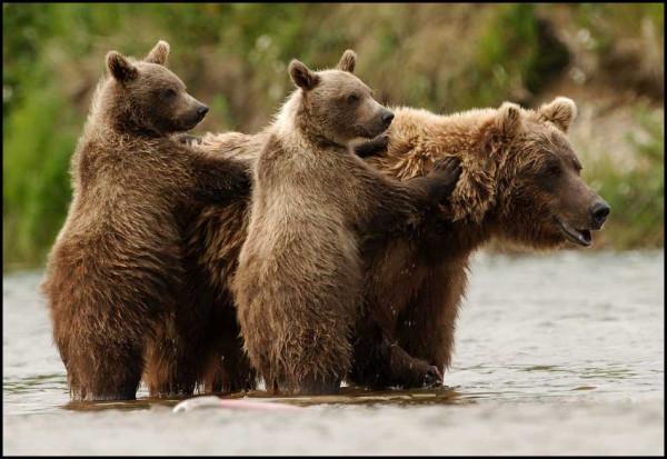 grizzly проф