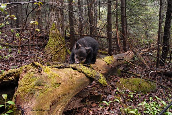 cubmay-2-2010-metcha-bear
