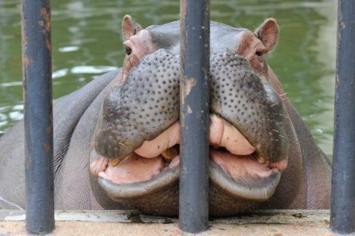 анфас-hippo