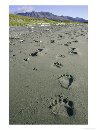 i5801-1-grizzly-bear--footprints-in-wet-sand--alaska