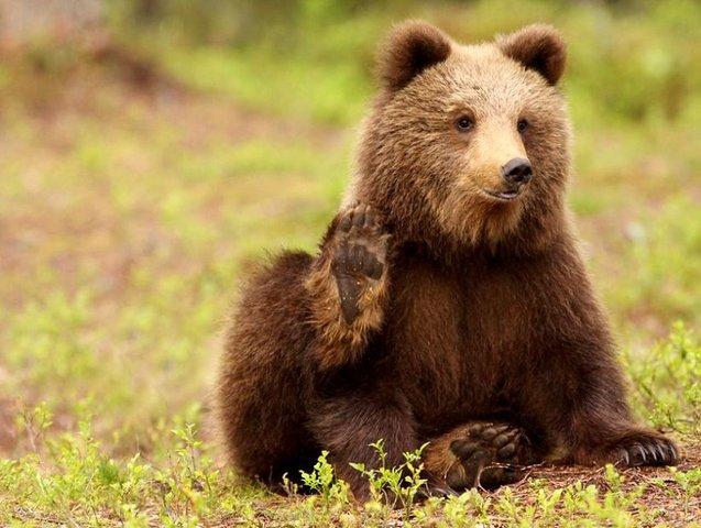 привет bear