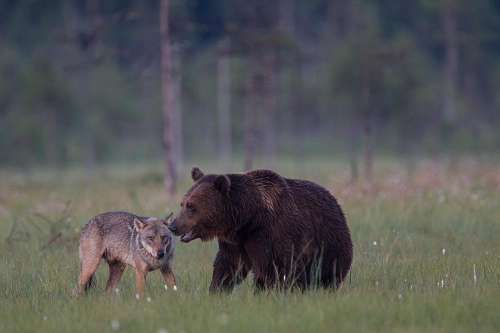 Baer-und-Wolf-Komm