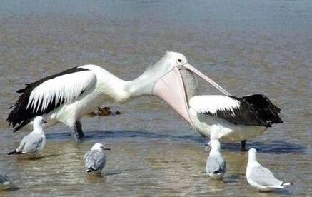 pelican-dentist