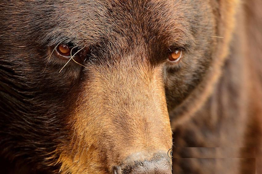 phase-black-bear
