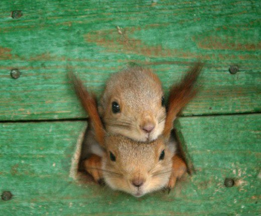 Two-squirrels