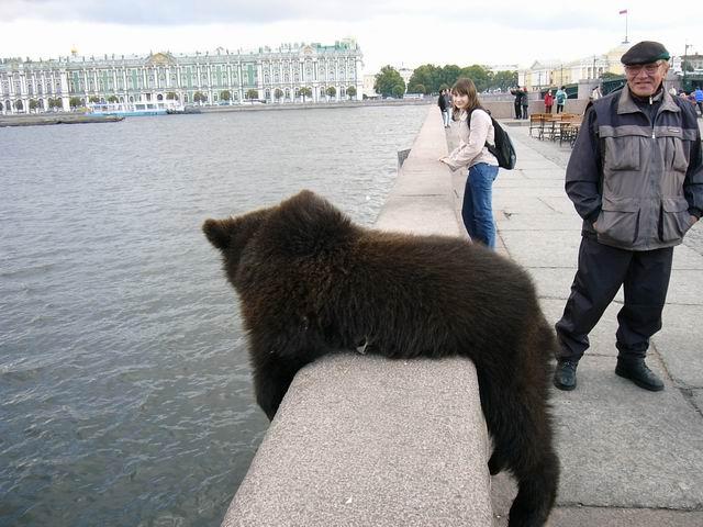 медведь питер