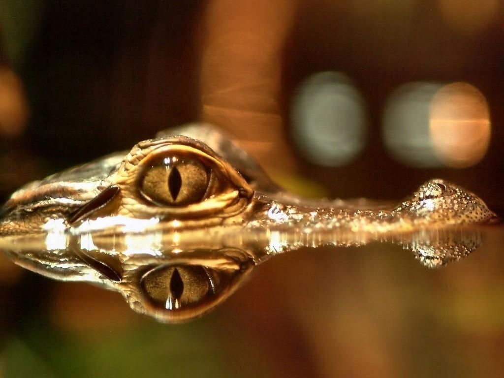 aligator_eye_reflexion