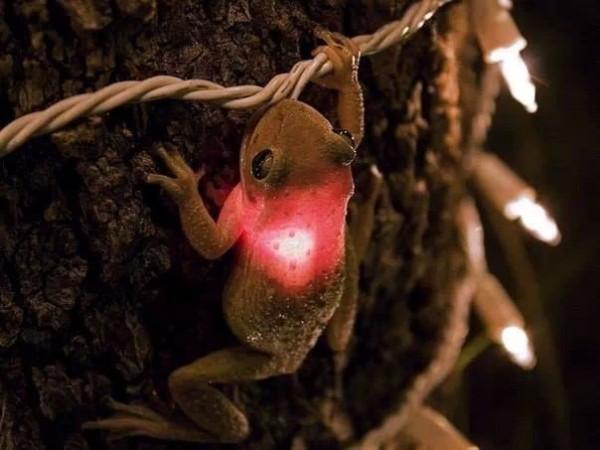 кубинская древесная лягушка проглотила лампочку гирлянды