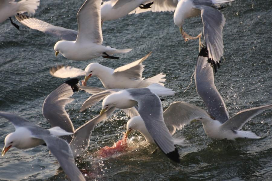 чайки6200