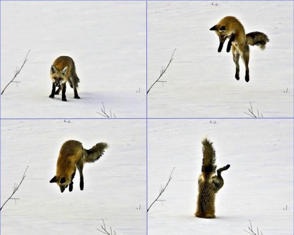 Лис vs Мышь