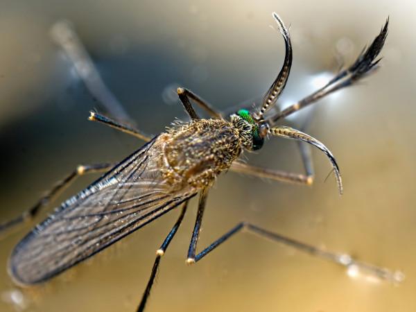 комар 4