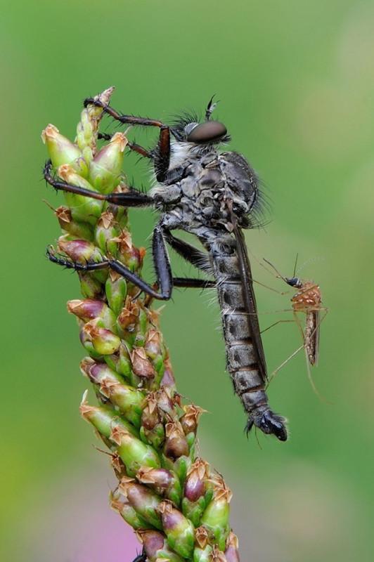 ктырь и комар
