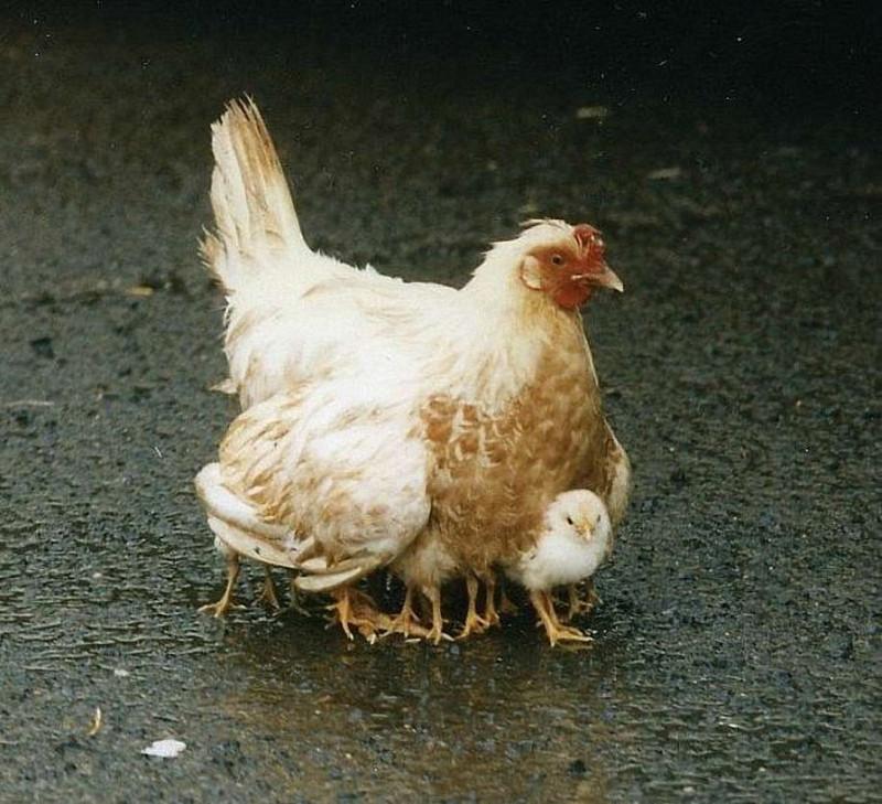 курица-сороконожка 2