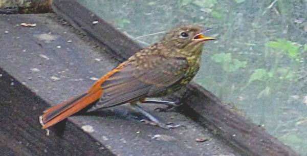 Птенчик желторотый