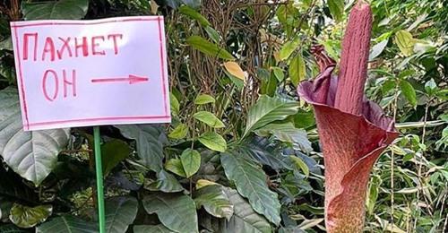Цветок аморфофаллуса коньяка