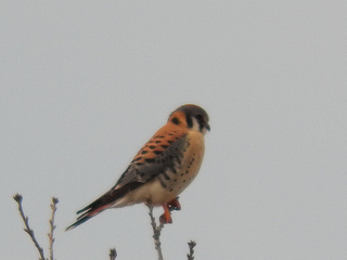 American kestrel, January 25, 2013