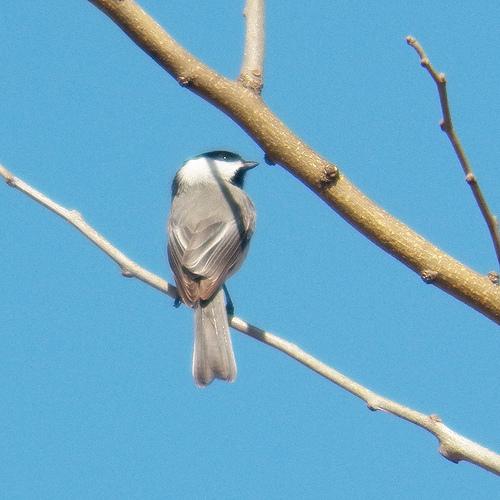 Carolina chickadee breckinridge park february 6 2013