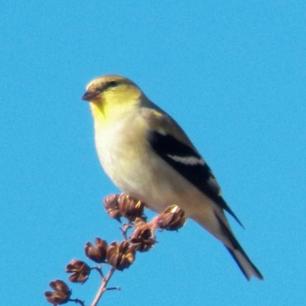 american goldfinch february 16 2013 glendover park gbbc