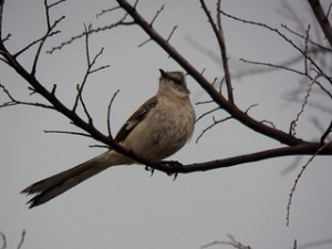 mockingbird glendover park march 9 2013 afternoon