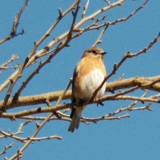 eastern bluebird in breckinridge park on march 11 2013
