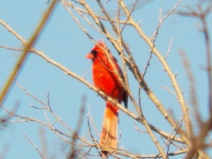 northern cardinal oak point park march 14 2013