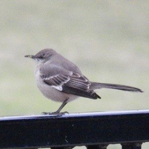 northern mockingbird, glendover park march 23 2013