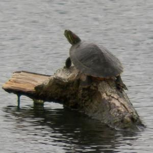 turtle 320 april 7 2013