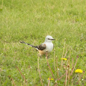 scissortail flycatcher in a field at breckinridge park