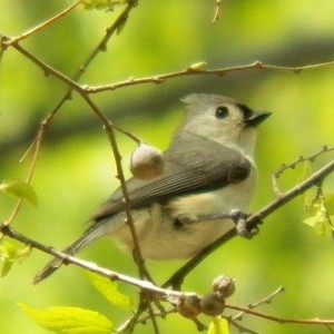 tufted titmouse, breckinridge park, april 13 2013