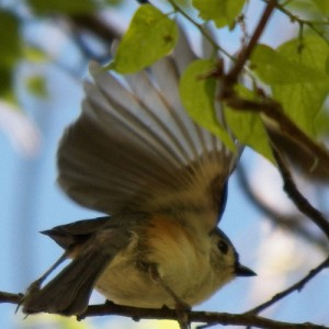 tufted titmouse wings flapping april 2013