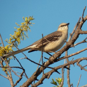 northern mockingbird april 14 2013