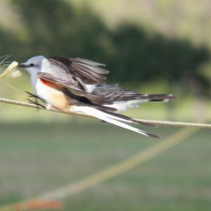 scissortail flycatcher flies in front of eastern kingbird