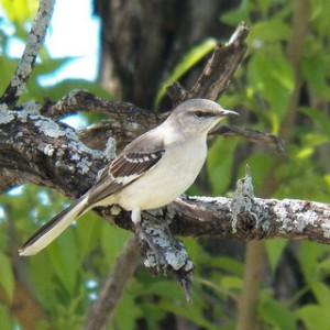 mockingbird at glendover park april 20 2013
