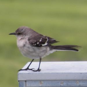 northern mockingbird 320 breckinridge park april 23, 2013