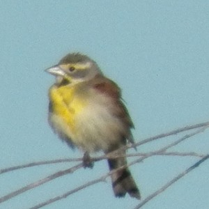 dickcissel hagerman may 4, 2013 walk with  Gailon Brehm