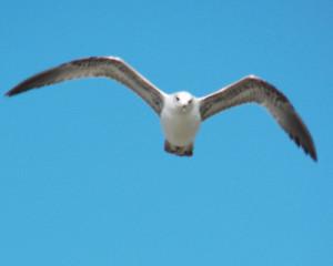ring-billed gull, tampa florida cypress point park may 7 2013