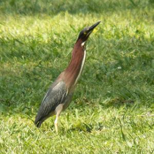 green heron, bethany lakes park, allen, texas, may 18 2013